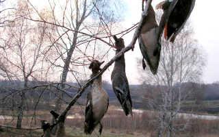 Что делать с добытой на охоте птицей, чтобы она не испортилась